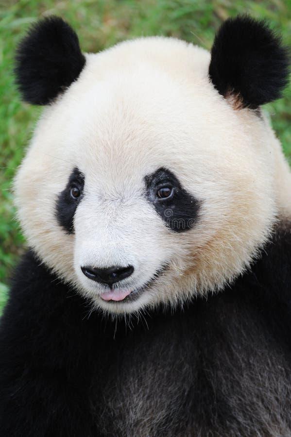 портрет панды стоковая фотография rf