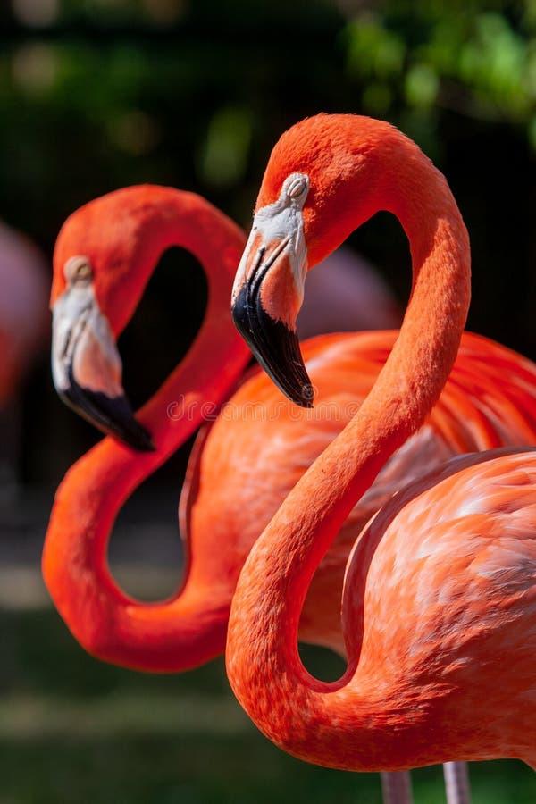 Портрет пары птиц фламинго в их окружающей среде стоковые фото