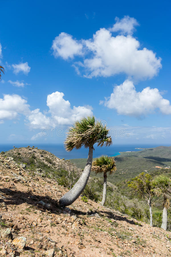 Портрет пальм национального парка Christoffel стоковое фото rf