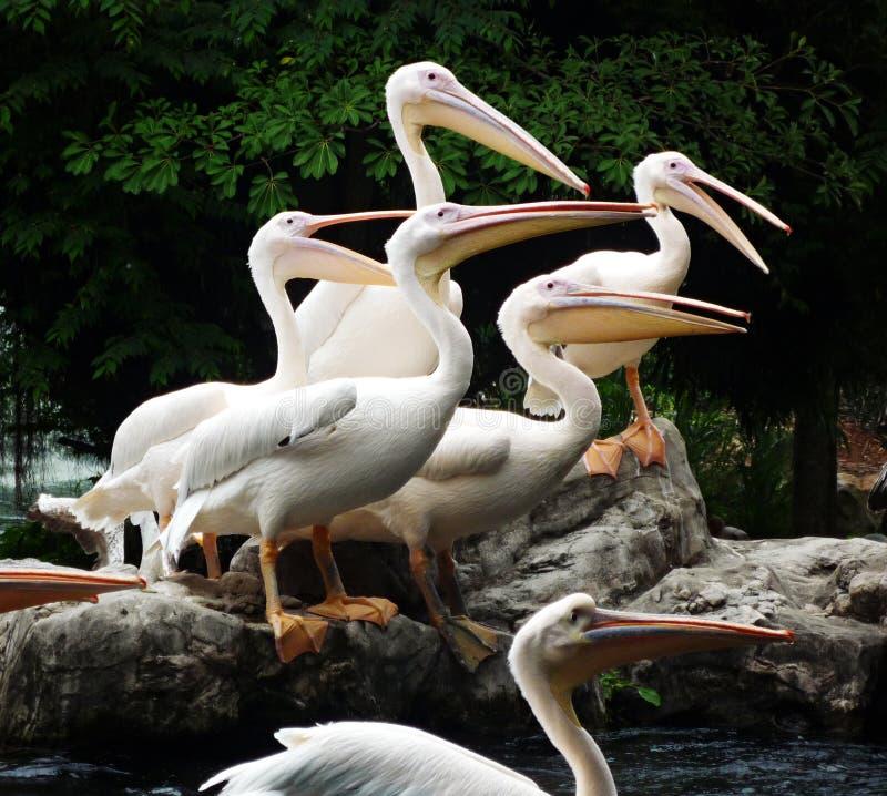 портрет пеликанов группы стоковые фото