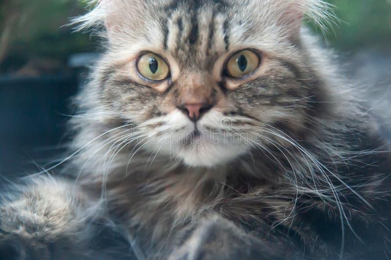 Портрет персидского кота с неопрятными длинными серыми волосами стоковая фотография