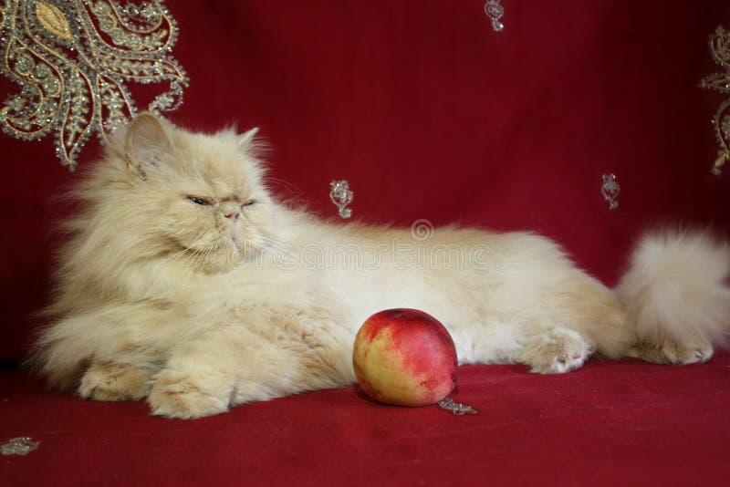 Портрет персидского взрослого кота с персиком стоковые изображения