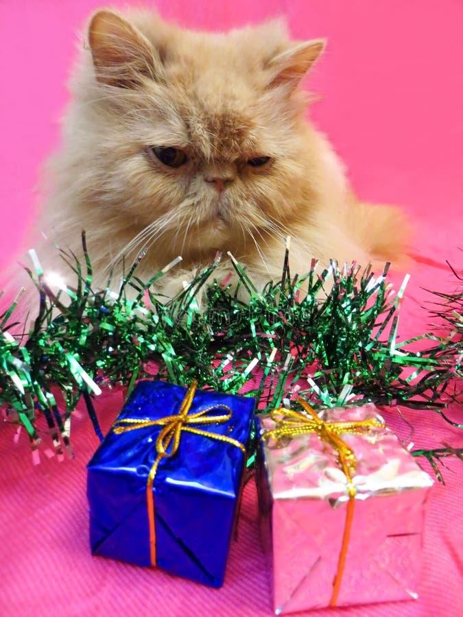 Портрет персидского кота стоковые фотографии rf