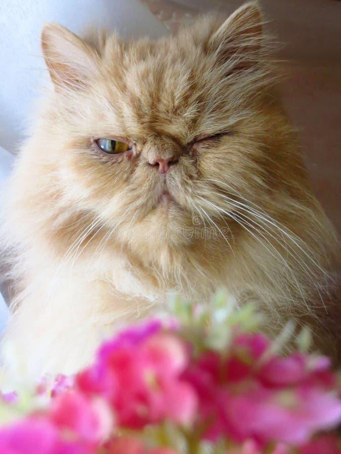 Портрет персидского кота стоковое фото
