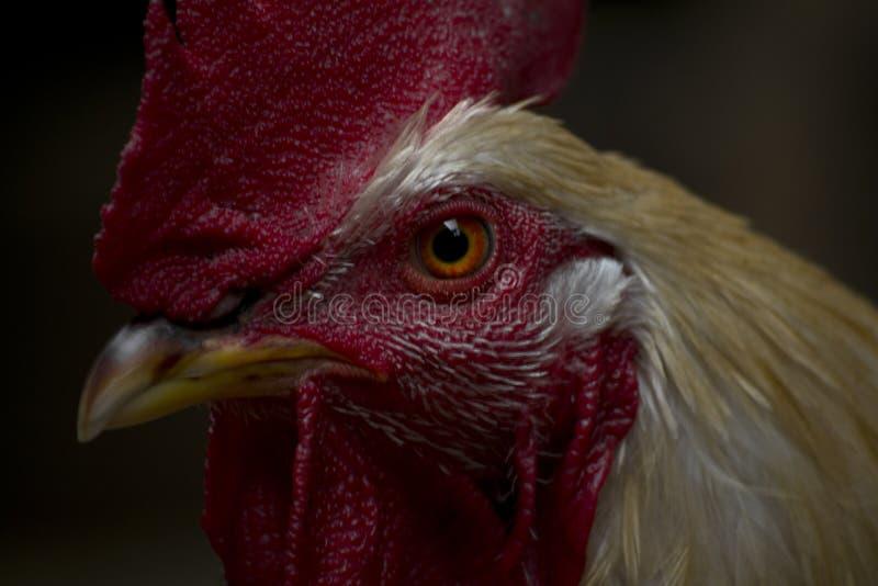 Портрет петуха стоковое фото rf