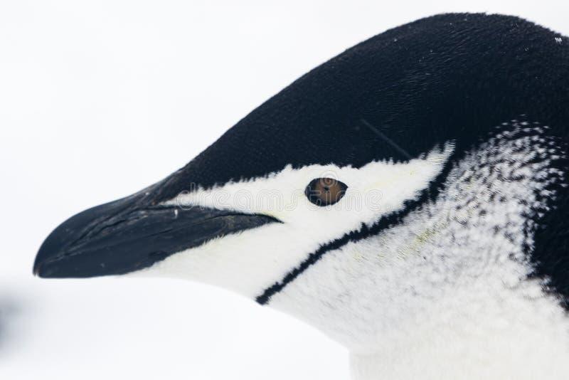 Портрет пингвина Chinstrap стоковое изображение