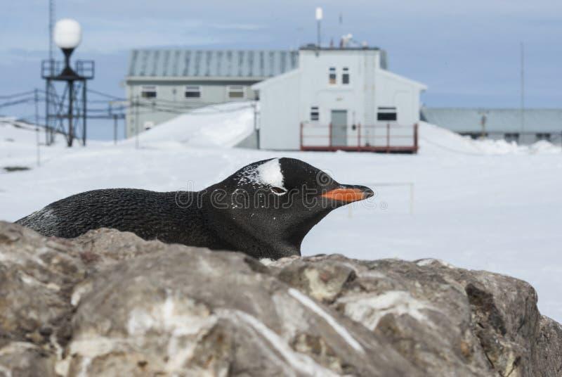 Портрет пингвина Gentoo на предпосылке антартического исследования стоковое фото