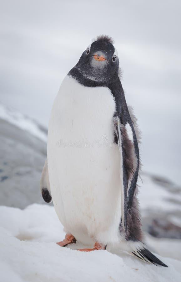 Портрет пингвина Gentoo на снеге Антартический полуостров стоковые фотографии rf
