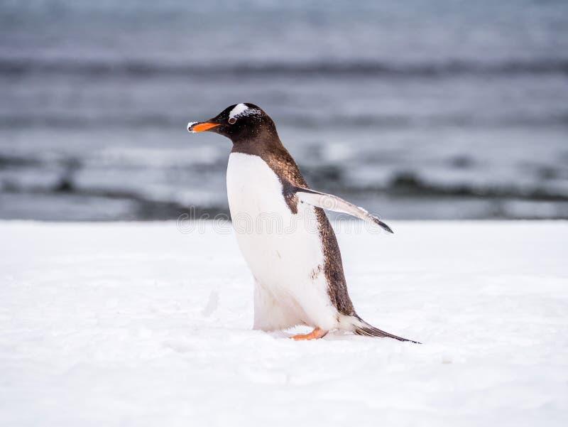 Портрет пингвина Gentoo, Pygoscelis Папуа, идя в снег, m стоковое фото