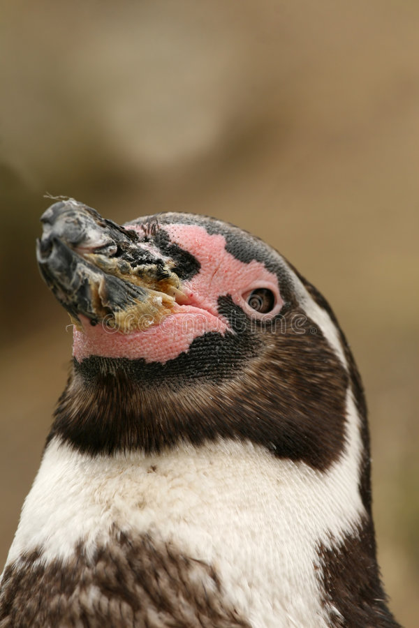 портрет пингвина humboldt стоковое изображение