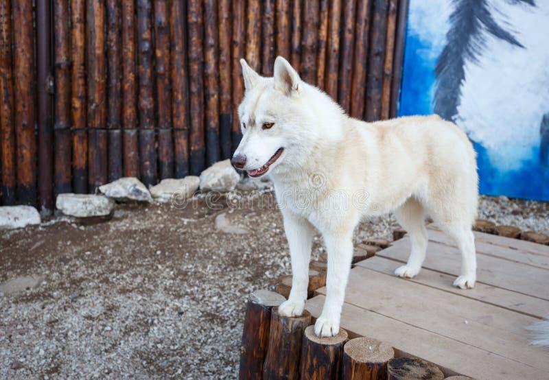 Портрет положения красивой сибирской собаки осиплого на древесине стоковое изображение