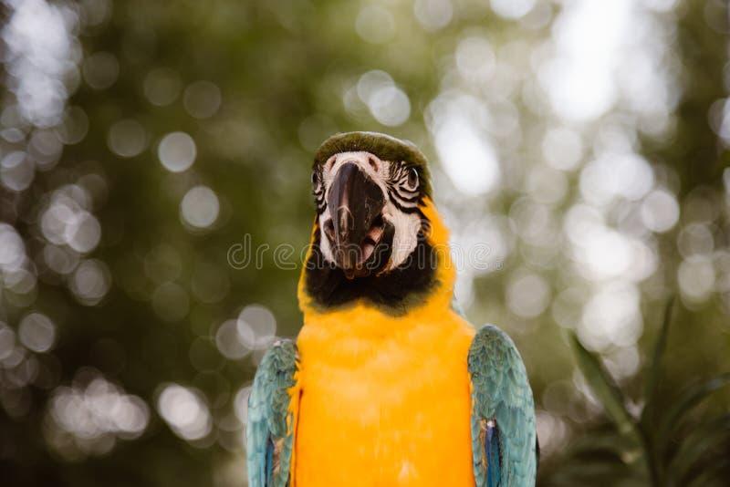 Портрет попугая Ara стоковое изображение rf