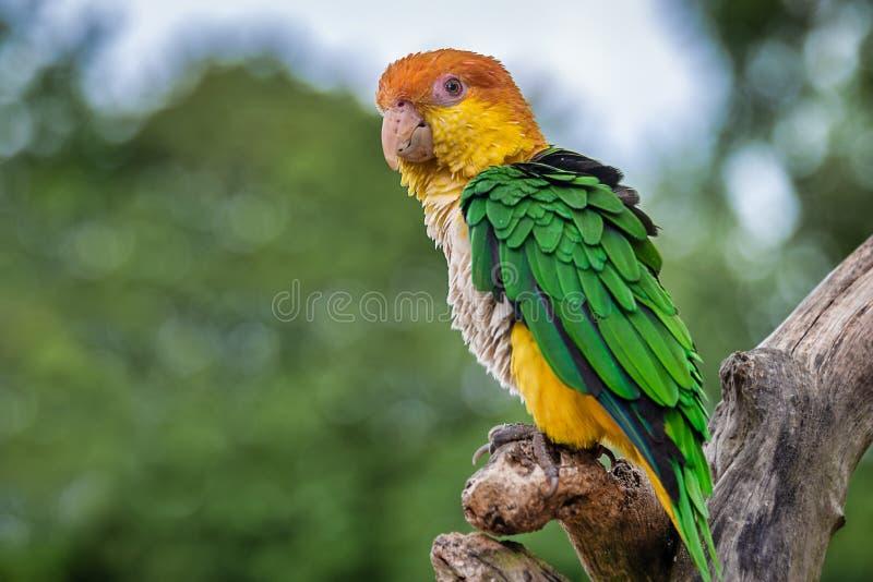 Портрет попугая thighed зеленым цветом стоковое изображение rf