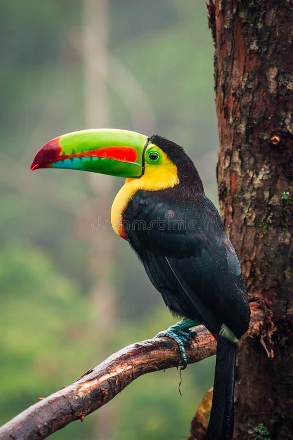 Портрет посадочных мест птицы Toucan на ветви дерева стоковое фото