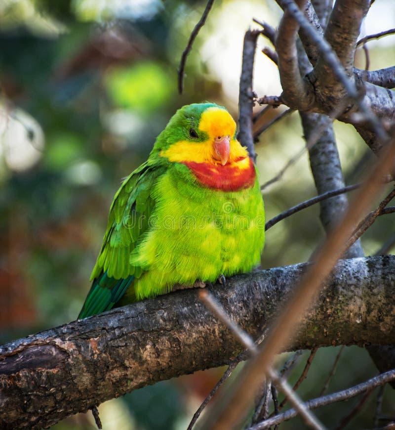 Портрет превосходного попугая - swainsonii Polytelis стоковые изображения rf