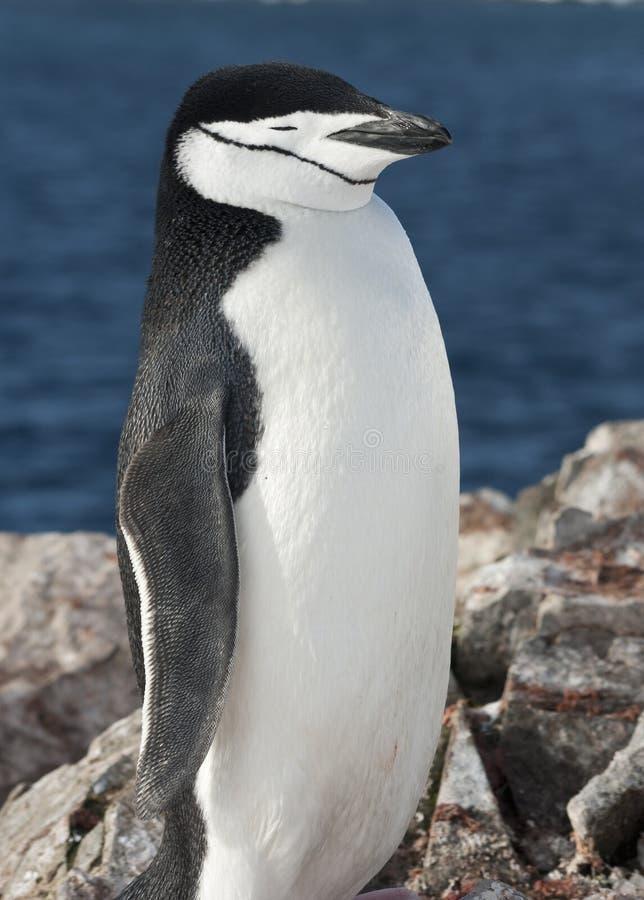 Портрет приантарктического пингвина против океана. стоковые изображения rf