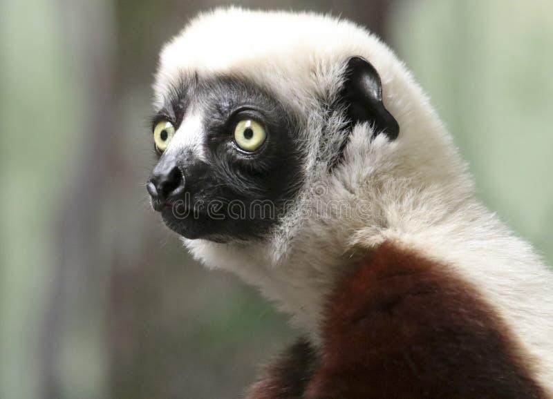 Портрет примата Sifaka, большого лемура стоковые изображения rf