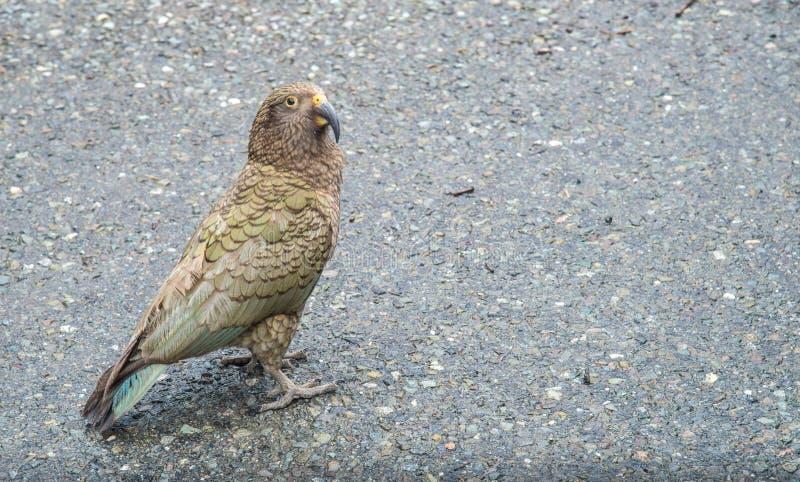 Портрет прожития птицы Kea в районе национального парка Milford Sound, Новой Зеландии стоковые изображения