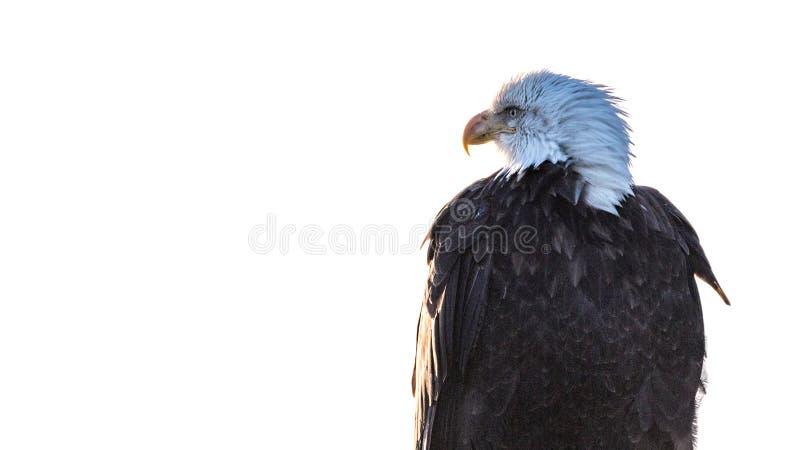 Портрет профиля белоголового орлана на белизне стоковые изображения rf