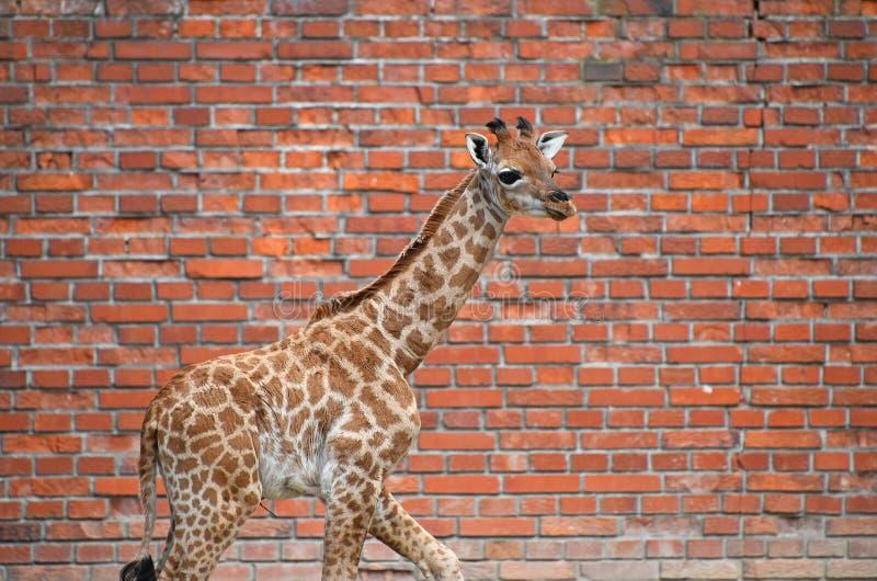 Портрет профиля икры жирафа над кирпичной стеной стоковая фотография