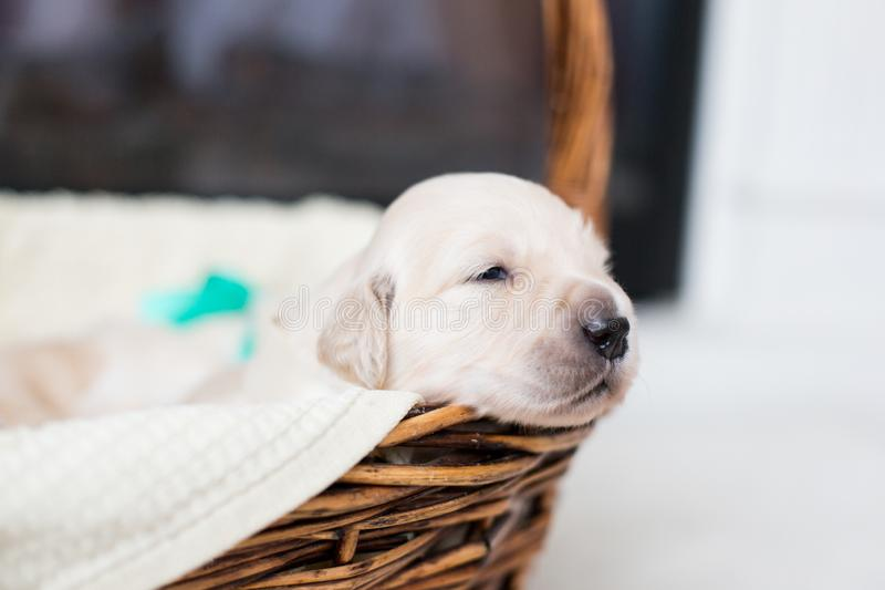 Портрет профиля щенка золотого retriever в корзине Милый младенец золотого retriever с зеленой лентой с открытыми глазами стоковое фото