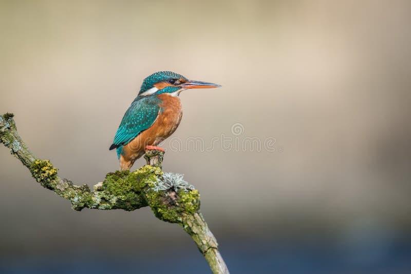 Портрет профиля kingfisher стоковые изображения rf