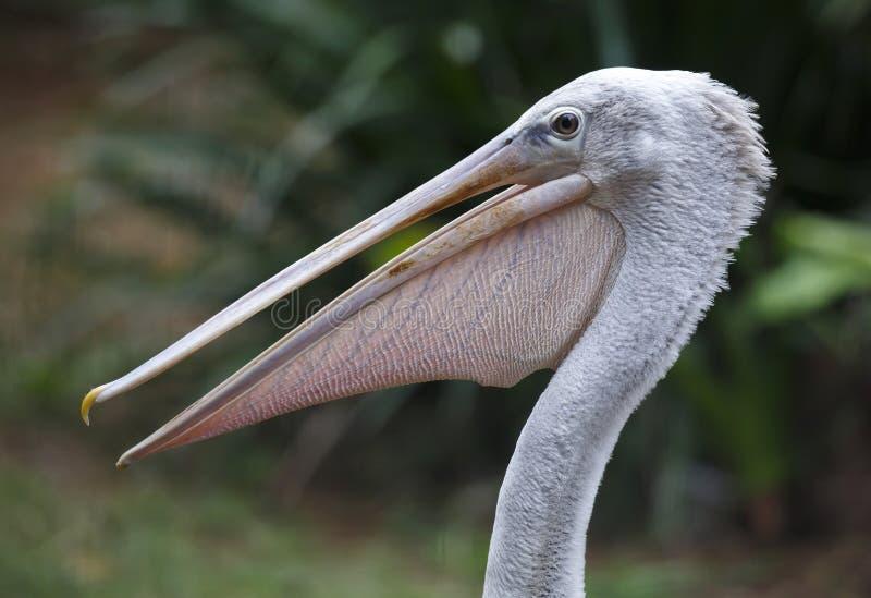 Портрет птицы пеликана стоковое фото rf