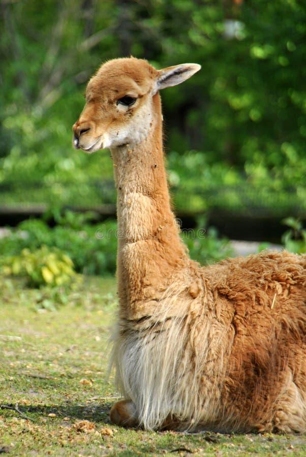 Портрет пушистой коричневой ламы ослабляя в солнце стоковая фотография rf