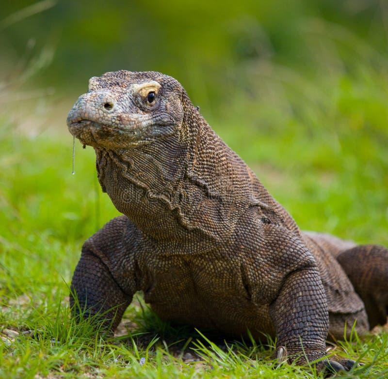 Портрет дракона Komodo Конец-вверх Индонезия Национальный парк Komodo стоковые фотографии rf