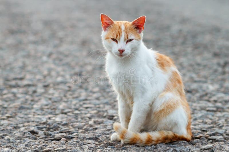 Портрет рассеянного кота Белый и красный кот сидя самостоятельно на дороге смотря камеру, много космос для текста, copyspace ST стоковая фотография