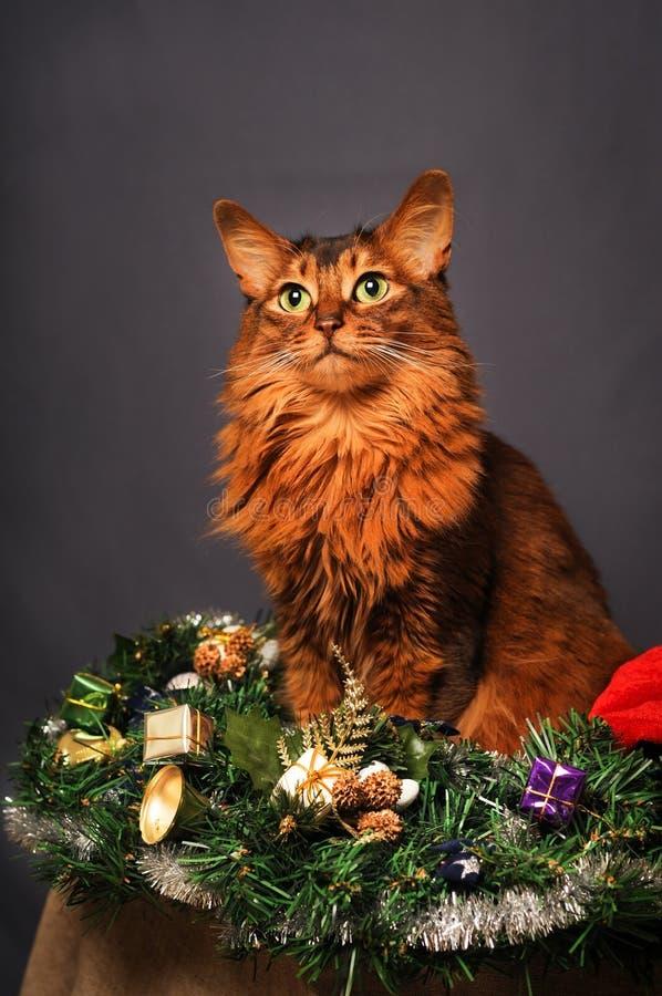 Портрет рождества цвета сомалийского кота румяный стоковые фотографии rf