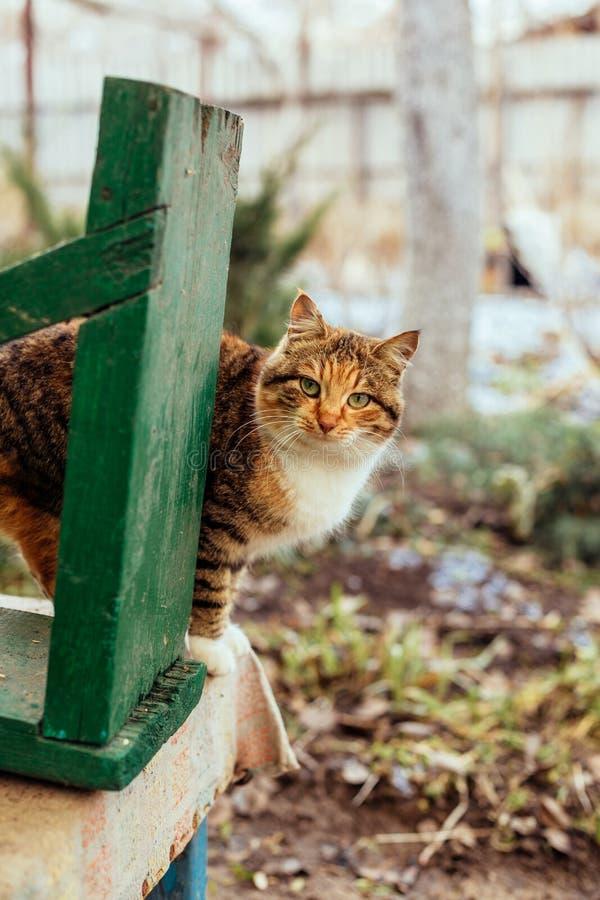 Портрет рыжеволосого сельского кота стоковое фото rf