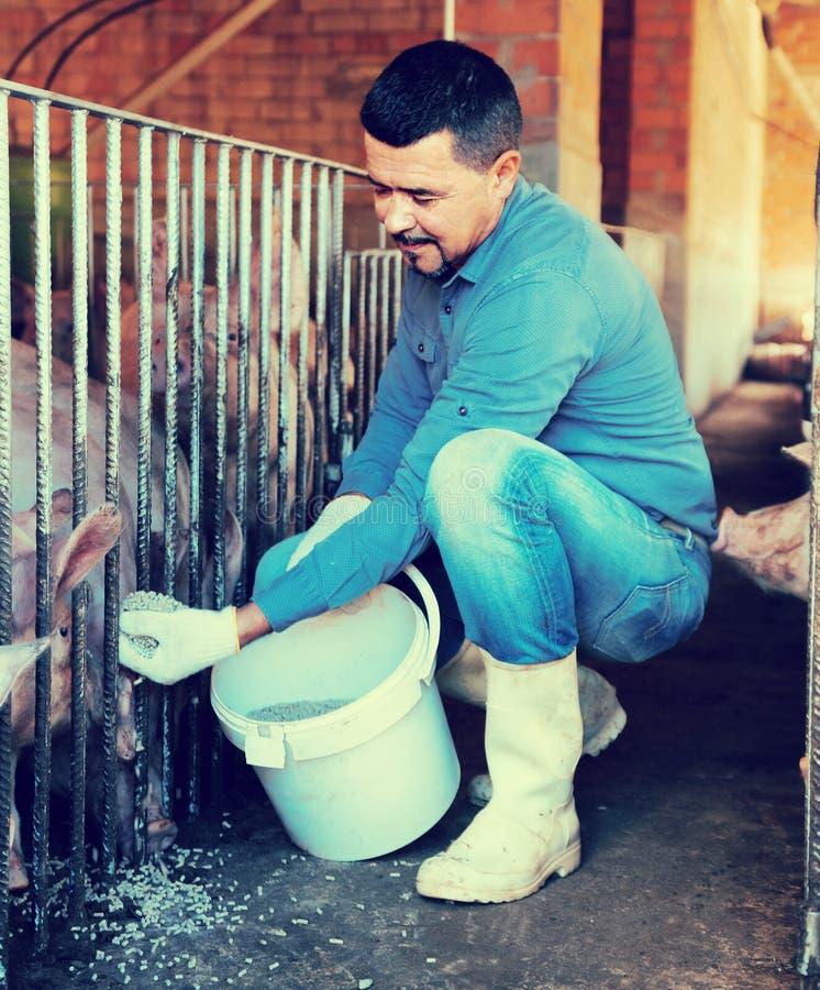 Портрет свиней зрелого мужского фермера подавая стоковое фото