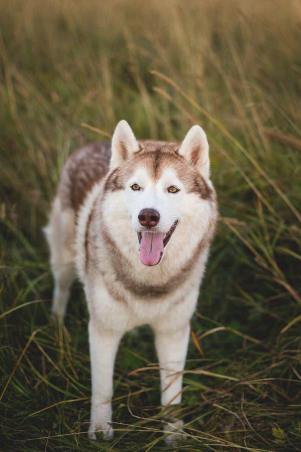 Портрет свободной сибирской сиплой собаки с коричневыми глазами стоя в рож на заходе солнца стоковые изображения