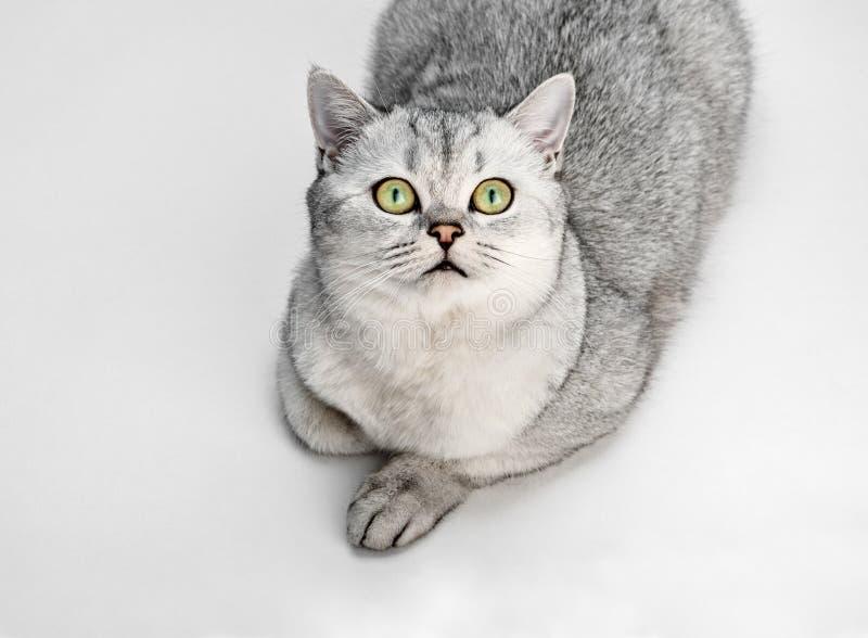 Портрет серого великобританского кота Shorthair смотрит вверх и изолированный на белой предпосылке стоковое фото