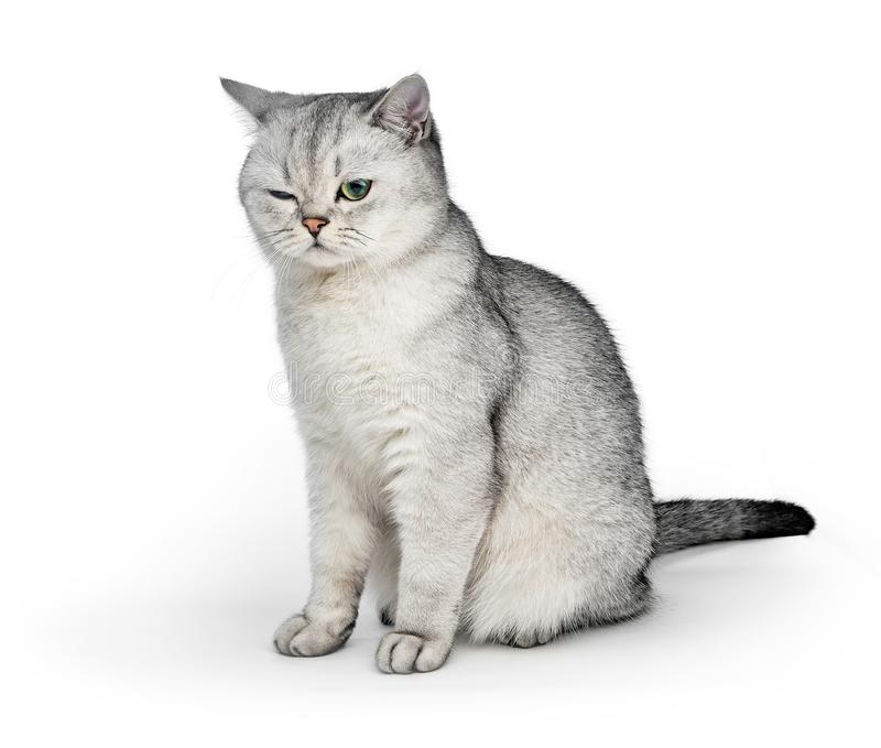 Портрет серого великобританского кота Shorthair с одним глазом закрытым на белой предпосылке стоковые фотографии rf