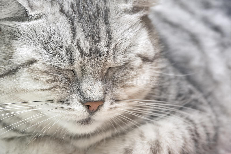 Портрет серого конца кота вверх стоковое фото