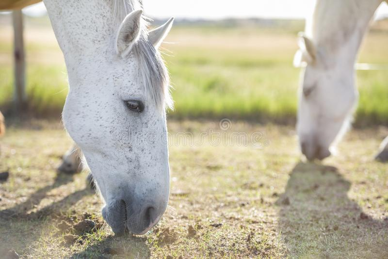 Портрет серой лошади пася в луге на заходе солнца, с другой лошадью на заднем плане E t стоковое изображение