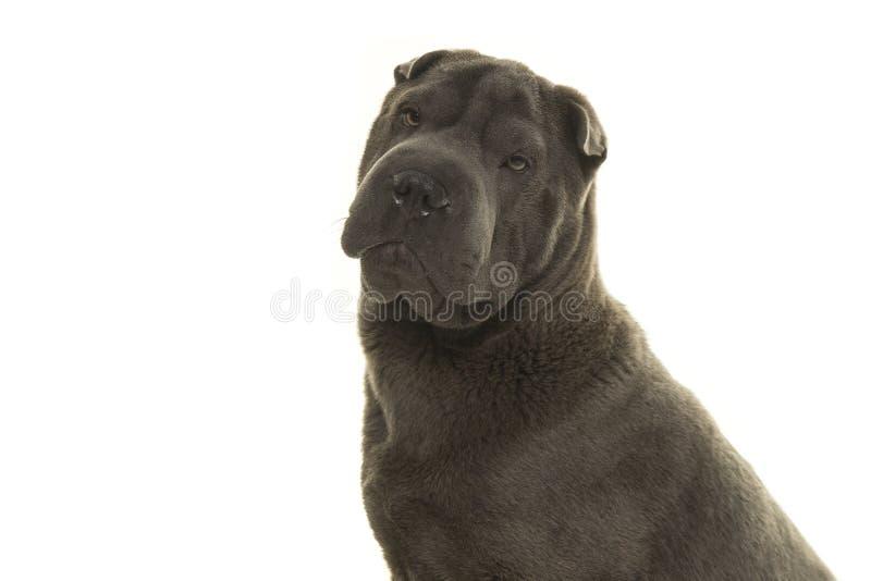 Портрет серой собаки Shar Pei смотря камеру стоковое фото