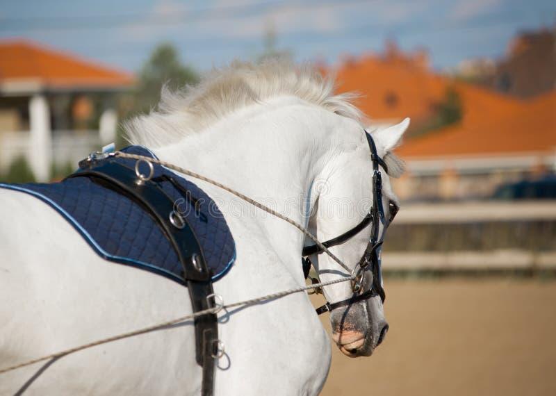 Портрет серой тренировки лошади dressage стоковые фотографии rf