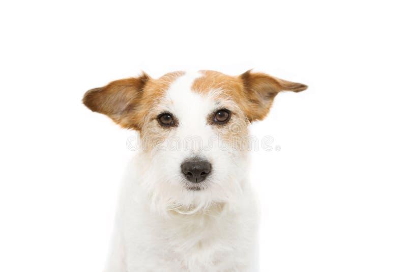 Портрет серьезный поднимает собаку домкратом Рассела r стоковые изображения