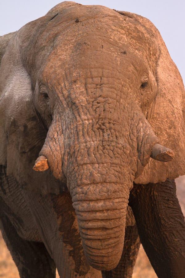 Download портрет слона стоковое фото. изображение насчитывающей опасно - 18392328
