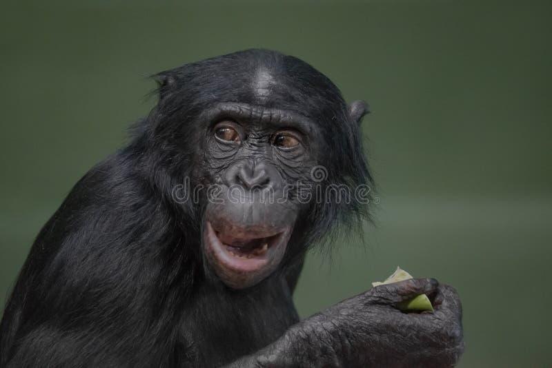 Портрет смешного и эмоционального карликового шимпанзе, конца вверх стоковые изображения rf