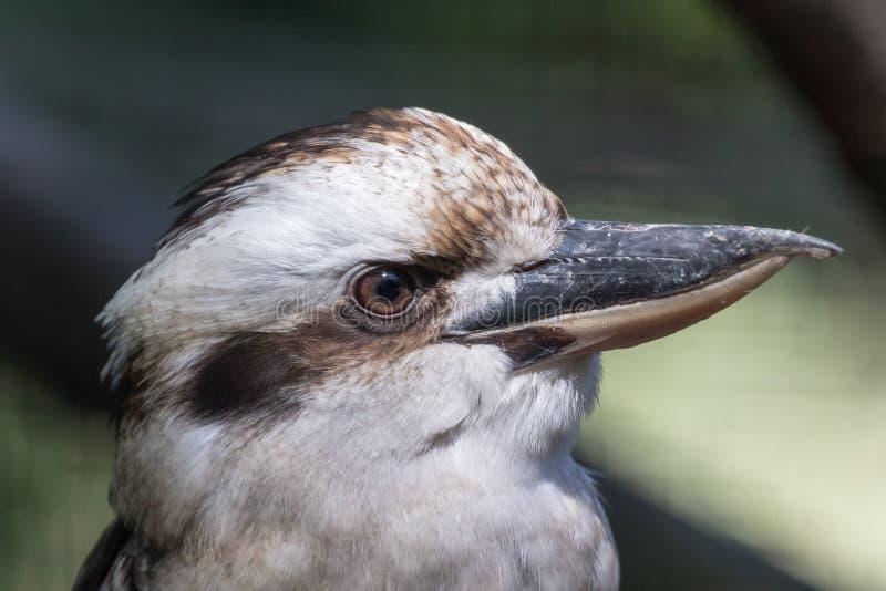 Портрет смеясь над kookaburra - novaeguineae dacelo стоковая фотография