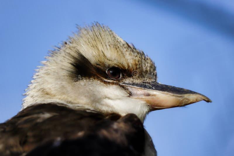 Портрет смеясь птицы kookaburra стоковые фото