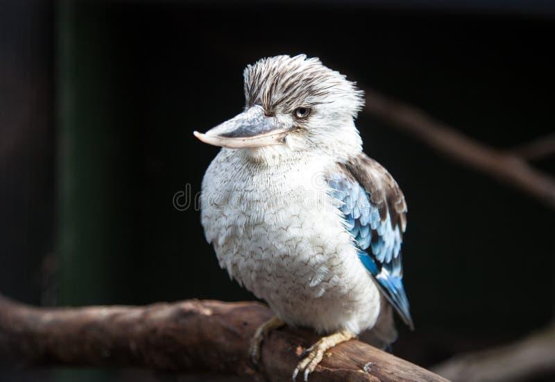 Портрет смеясь kookaburra, novaeguineae dacelo, с большим клювом голубое подогнали kookaburra, котор australites стоковые фото