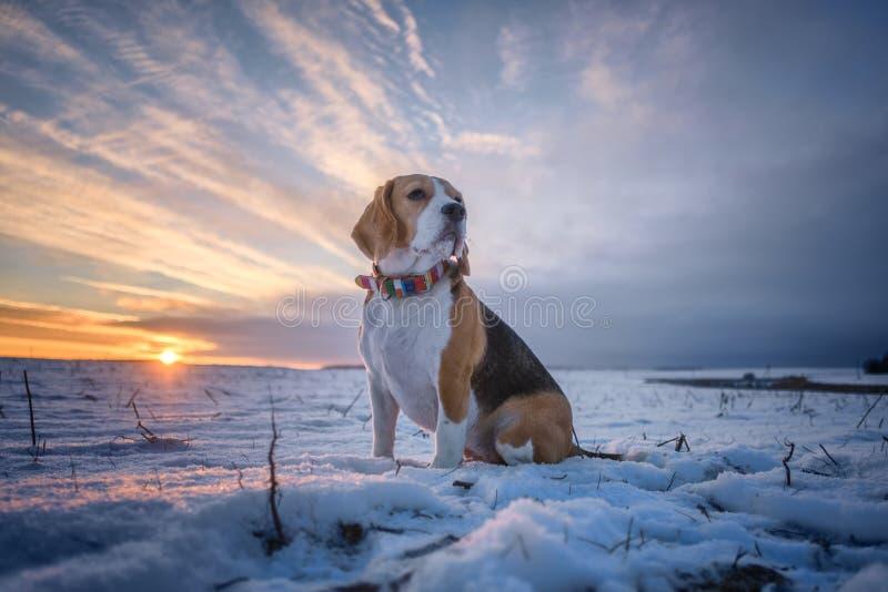 Портрет собаки бигля на предпосылке захода солнца в вечере зимы стоковые изображения
