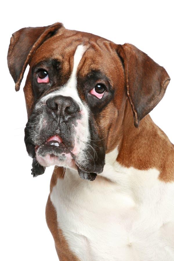 портрет собаки боксера близкий вверх стоковые фотографии rf
