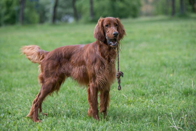 Портрет собаки ирландского сеттера Селективный фокус стоковые фото