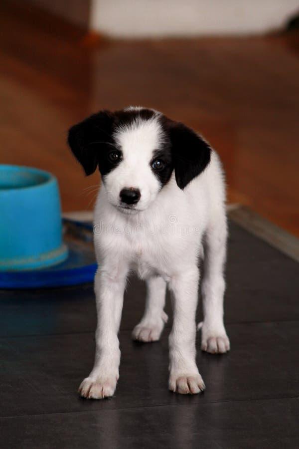 Портрет собаки маленького щенка женской представляет для фотосессии, конца вверх Малая смешанная порода, прелестные щенята и поло стоковое фото